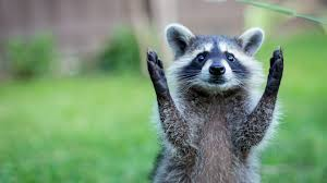 Meme Generator Raccoon - raccoon meme generator