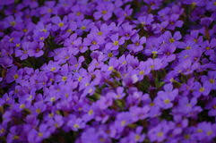 fiori viola piccoli fiori viola kwckranen