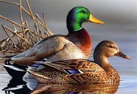 ducks are awesome
