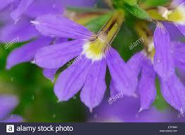 purple flowering australian native plants fairy fan flower or common fan flower scaevola aemula flower
