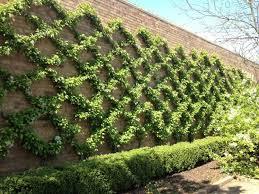 star jasmine on trellis best 25 ivy wall ideas on pinterest wall trellis vine trellis