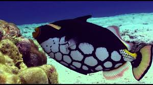 the ballistic nature of costa rica u0027s triggerfish
