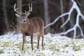 Rhode Island wildlife images Rhode island deer hunting realtree jpg