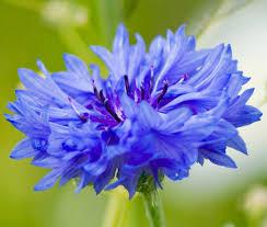 cornflower blue cornflower blue centaurea cyanus seeds