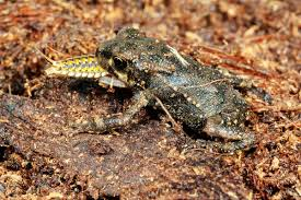 absurd creature of the week this toad isn u0027t eating a bug the bug
