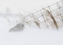 2018 snowy owl workshop u2014 kevin pepper photography