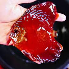 crimson medium crimson star alenquer 4 5 5