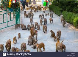 troop of monkeys at the monkey temple or swayambhunath kathmandu