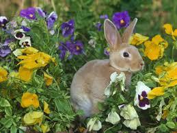 rabbit garden rabbits deer woodchucks how do i keep pests out of my garden