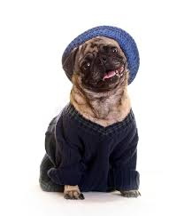 pug sweater a pug with hat and sweater stock photo image of