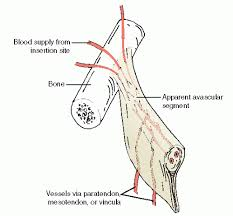 Tendon Synovial Sheath Principles Of Muscle Tendon Surgery And Tendon Transfers