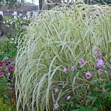 miscanthus sinensis dixieland walters gardens inc