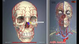 Pictures Of Human Anatomy Organs Arteries Of The Head And Neck 3d Human Anatomy Organs Youtube