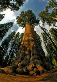 10 highest trees of the planet