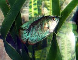 the gourami fish an article dedicated to caring and breeding