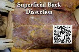 Anatomy And Physiology Of The Back Dissection Superficial Back Anatomy Guy