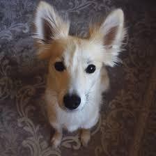 australian shepherd x husky view topic struggle dog romance rp open u0026accepting