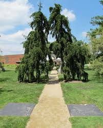 Wonderful Gardens Fill Your Wonderful Garden With Wonderful Weeping Norway Spruce