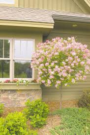 landscaping korean lilac how to plant lilacs growing lilacs
