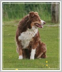 australian shepherd 7 wochen australian shepherd hunderasse a hundeseite de