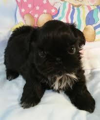 affenpinscher for sale near me buy top quality champion sired female shih tzu puppies for sale