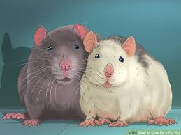 Best Bedding For Rats How To Care For A Pet Rat With Pictures Wikihow