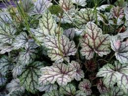 buy ornamental plants heuchera coral flower coral bells