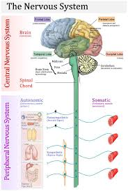 Human Brain Mapping The 25 Best Brain Parts Ideas On Pinterest Brain Anatomy Brain