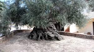 oldest olive tree youtube