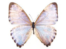 butterfly free stock photo a blue butterfly isolated on a