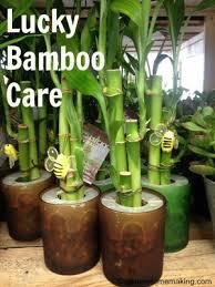 lucky bamboo care lucky bamboo plants and gardens