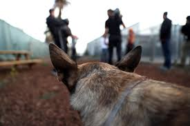 belgian shepherd los angeles cesar millan drops in to oakland shelter for u201cdog nation u201d filming