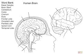 Human Brain Worksheet Coloring Page Free Printable Pages In Organs Brain Coloring Page
