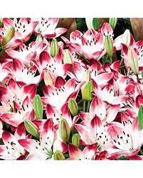 bargains on asiatic carpet border lily bulbs sugar baby border