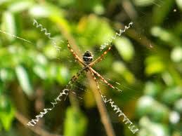 golden orb spider where u0027s the stash