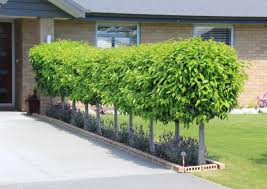 Laurel Topiary - portuguese laurel new zealand easy big trees