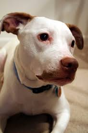 how to rent with a pit bull pets