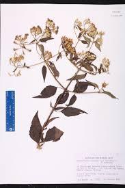 florida keys native plants herbarium specimen details isb atlas of florida plants