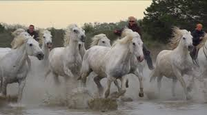 camargue white horse wallpapers the guardians of the camargue land of horse