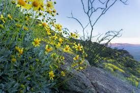 Anza Borrego Wildflowers Super Bloom by Early Season Wildflower Exploration California Super Blooms In