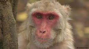 bbc earth fabulous monkey faces