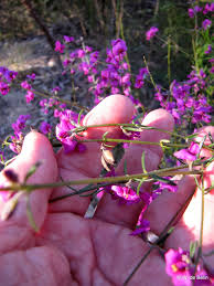native plants sydney sydney u0027s wildflowers and native plants mirbelia speciosa purple