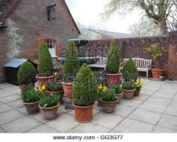 English Box Topiary - spring tulips in terracotta pots in english garden with box