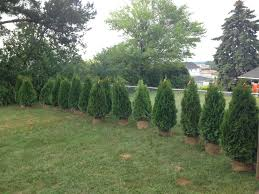 how to plant privacy trees pretty purple door