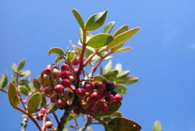 can i eat the berries of a pistachio tree home