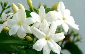 Jasmine Flowers Rkr Exports Agriculture Commodities Trading Manufacturing