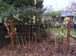 Trellis For Raspberries Raspberries The Right Way Sustainable Scientist