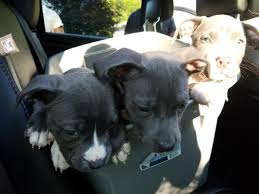american pitbull terrier hoobly beautiful american bully puppies available now in hoobly