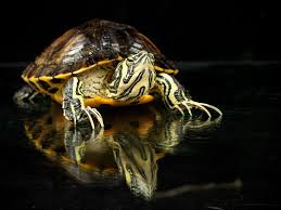 Turtle Back Zoo Lights by Caring For Yellow Bellied Sliders As Pet Turtles