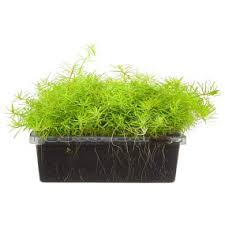 aquatic plants